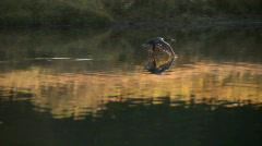 Duck fly close to river P HD 3102 Stock Footage