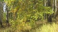Stock Video Footage of Birch in autumn deciduous forest