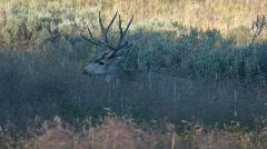 Buck mule deer feeding P HD 2680 Stock Footage