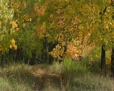 Maples avenue in autumn deciduous forest Stock Footage