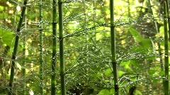 Giant horsetail (Equisetum giganteum)   Stock Footage