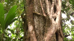 Strangler fig (Ficus sp.)  - stock footage