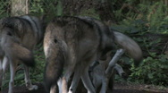 Gray Wolves at play 2a Stock Footage
