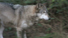 Gray Wolf in Forest 8 Stock Footage