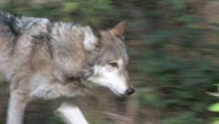 Gray Wolf in Forest 9 Stock Footage