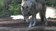 Gray Wolf Moves Toward Camera 1 Stock Footage
