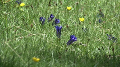 Zoom out gentian to flower meadow Stock Footage