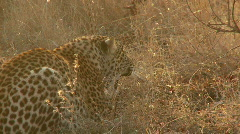 Leopard Hissing Stock Footage