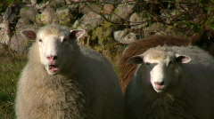 2 sheep chewing in the sun Stock Footage