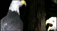 Stock Video Footage of Two Bald Eagles in Tree 4a