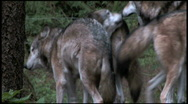 Pack of Gray Wolves 1aa Stock Footage