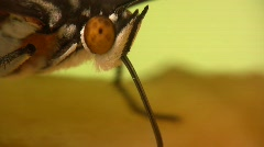 Green Heliconid (Phylaethria dido) Stock Footage
