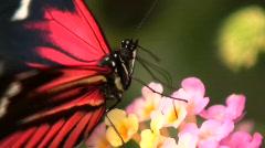 Postman longwing butterfly (Heliconius melpomene) Stock Footage