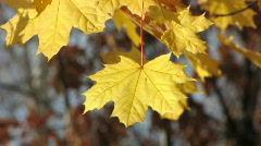 Autumn leafs 5  Stock Footage