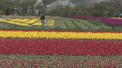 Netherlands 17 Tulip Fields 03 Stock Footage