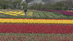 Netherlands 17 Tulip Fields 03 - stock footage