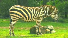 Comatose Zebra Stock Footage