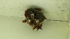 Wasp Nest Timelapse Stock Footage