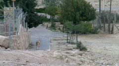 Capra (genus) -A Wild Goat 2 Stock Footage