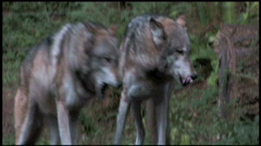 Pack of Gray Wolves 2aa Stock Footage