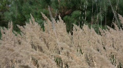 Ripe spikes of shorthear (Poaceae, Calamagrostis sp.) swaying in the wind agains Stock Footage