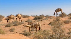 Dromedary kiss in desert Stock Footage