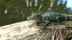 Alligator Stock Footage