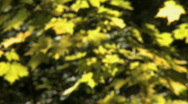 Leaves come into focus Stock Footage