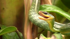 Cloudforest whipsnake (Chironius monticola)  - stock footage