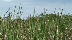 Reeds in the Breeze - stock footage