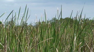 Stock Video Footage of Reeds in the Breeze