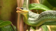 Stock Video Footage of Cloudforest whipsnake (Chironius monticola)