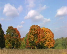 Red autumn maples and clouds on blue sky Stock Footage