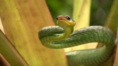 Cloudforest whipsnake (Chironius monticola) Stock Footage