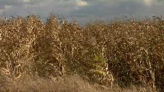 Corn field HD Stock Footage