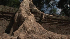 Angkor strangler fig - stock footage