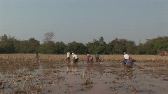 Finding food, Cambodian rice paddies Stock Footage