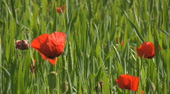 Farmland gets invaded by Poppy flowers during summer Stock Footage