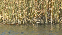 Stock Video Footage of P00698 Raccoon Feeding in Water at Marsh