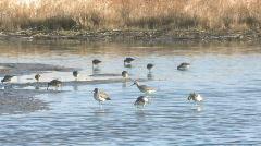 P00699 Shorebirds on Wetlands Stock Footage