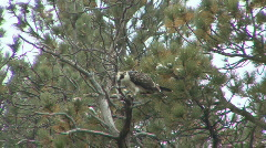 P00704 Osprey Feeding on Fish in Tree Stock Footage