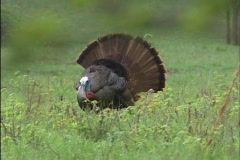 Eastern wild turkey 02 Stock Footage