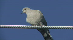 P00706 Eurasion Collared Dove Stock Footage