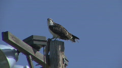 P00707 Osprey with Trout Stock Footage