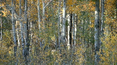 Aspen trees autum P HD 3316 Stock Footage