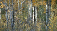 Stock Video Footage of Aspen trees autum P HD 3316