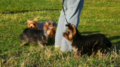 Three little Yorkshire terriers with their master Stock Footage