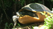 Stock Video Footage of Turtle