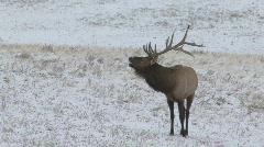 P00713 Bull Elk Bugling Stock Footage