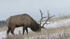 P00714 Trophy Bull Elk Stock Footage